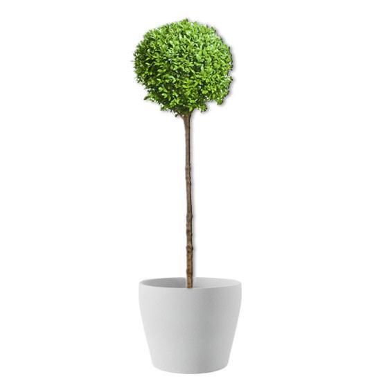 Ligusterbäumchen (echte Pflanze)