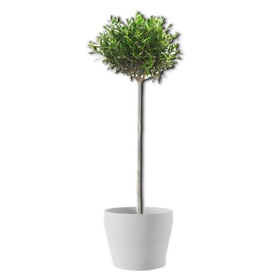 Olivenbäumchen (echte Pflanze)